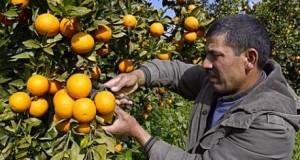 Cueillette des oranges dans les orangeraies du Cap Bon prs de Turki