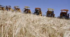 céréaliculture en algérie