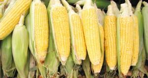 maïsiculture
