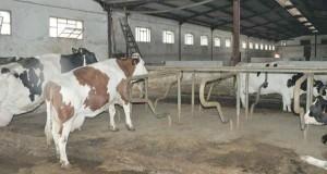Vache laitaire