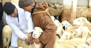 vaccination contre la peste des petits ruminants