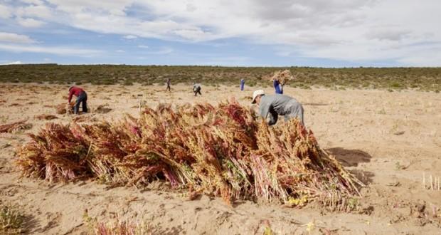 culture du Quinoa