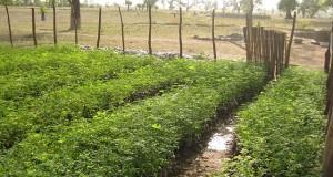 culture du moringa