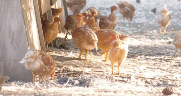 élevage de poulet fermier