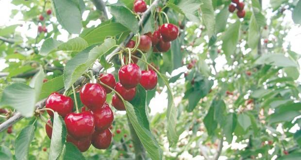 plantation des cerisiers
