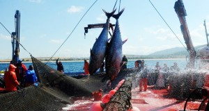 Pêche au thon rouge