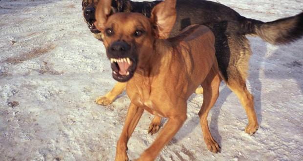 Oran - un enfant décède après avoir été mordu par un chien enragé