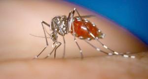 moustique tigre en algerie