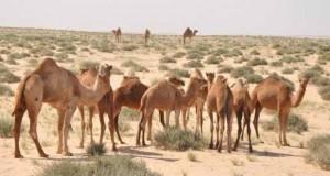 Elevage camelin