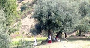 Cueillette des olives