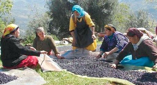 chants des cueilleuses d'olives