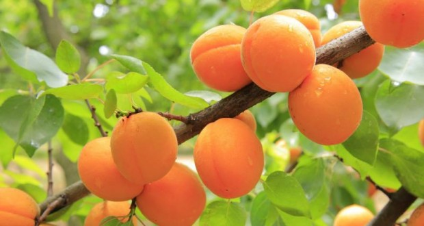 récolte d'abricot