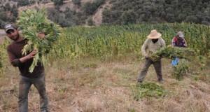 Maroc cannabis