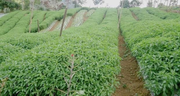 culture de la Stevia