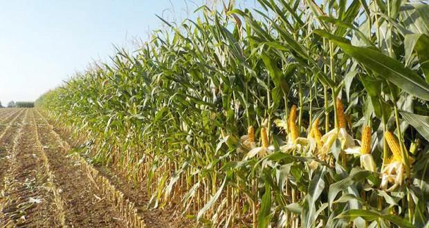 culture du maïs fourrage
