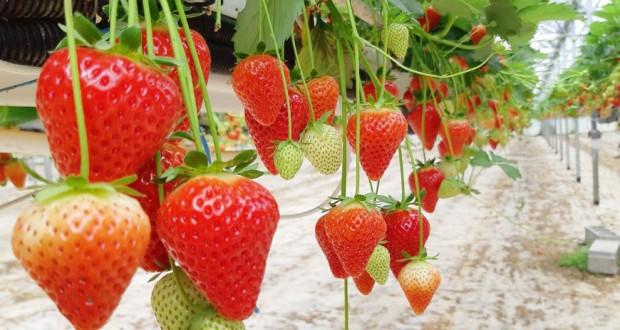 culture de la fraise