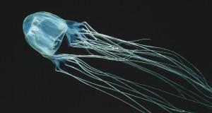 méduse venimeuse