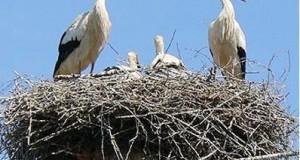 Installation de 140 nids artificiels et système anti-nids de cigognes