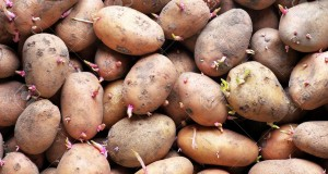 Sprouting seed potatoes ready for planting background. Backgroun